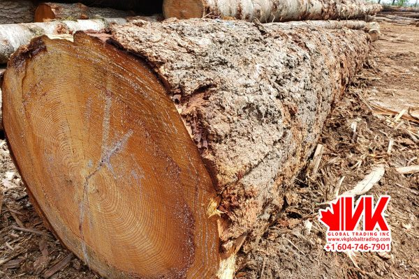 Douglas Fir - VK Global Trading