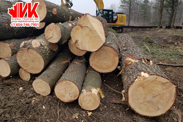 Eastern White Pine - VK Global Trading
